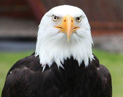 Portrait, Bald Eagle, Coat Of Arms Of Bird, Raptor