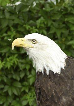 Adler, Raptor, Bird Of Prey, Bird, Animal, Bill
