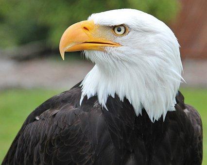 Bald Eagle, Coat Of Arms Of Bird, Raptor