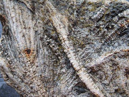 Sea Lilies, Fossils, Extinct, Crinoids, Limestone