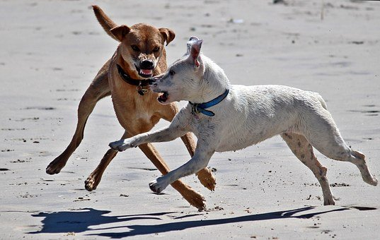 Dogs, Play, Beach, Dangerous, Attack, Tooth, Foot, Romp
