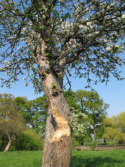 Tree, Flowers, Spring, Bieber, Bite, Gnaw, Plant