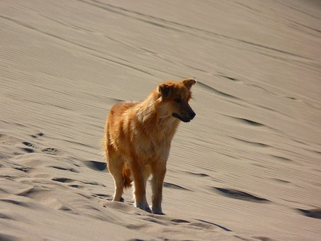 Lonely, Alone, Dune, Desert, Dry, Hot, Sand, Dog