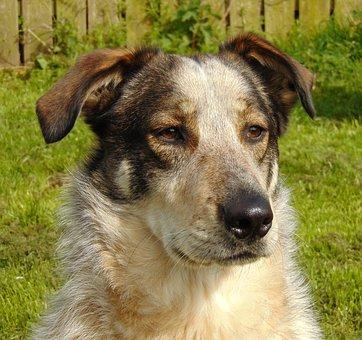 Dog, Sheepdog, Collie, Crossbreed, Romanian, Street Dog