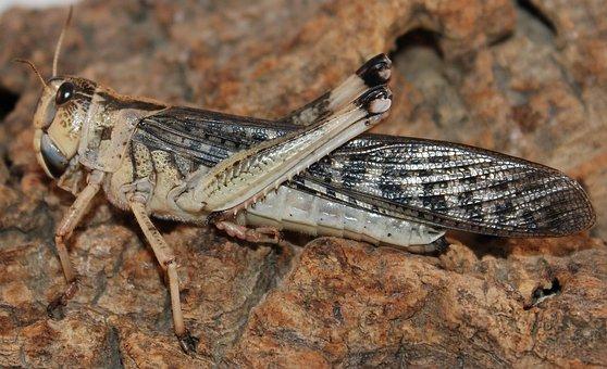 Grasshopper, Insect, Bug, Macro, Bark, Nature, Wildlife