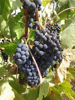 Grapes, Bunch Of Grapes, Parra, Strain