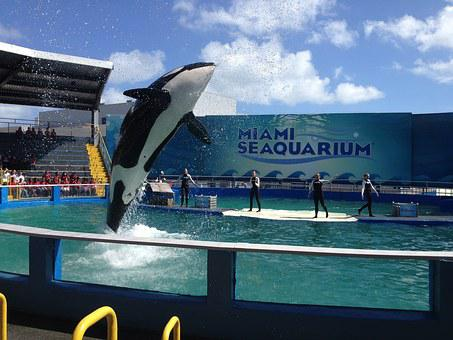 Miami, Killer Whale, Water, Jump
