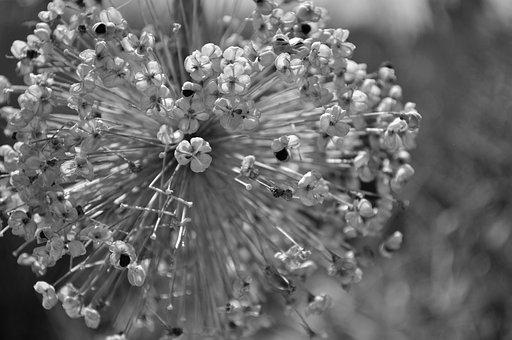 Ornamental Onion, Nature, Flower, Plant, Ball Leek