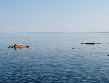 Whale, Kayak, Nature, Marine, Watching, Kayaking