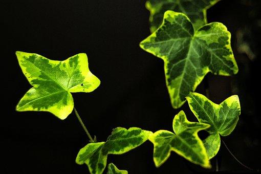 Ivy, Leaves, Climber, Green, Ivy Leaf, Entwine