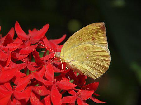 Butterfly, Yellow, Mein, Black, Nectar