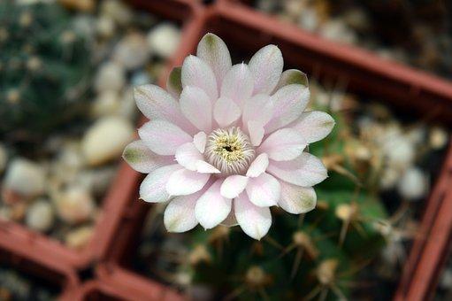 Cactus Flower, Gymnocalycium, Indoor Plant, Cactus