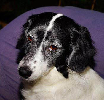 Dog, Pet, Hybrid, Animal, Male, Eyes, Dog Snout