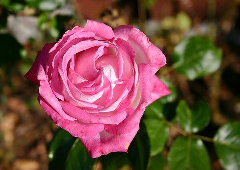Rose, Flower, Blossom, Bloom, Pink Rose, Pink, Nature