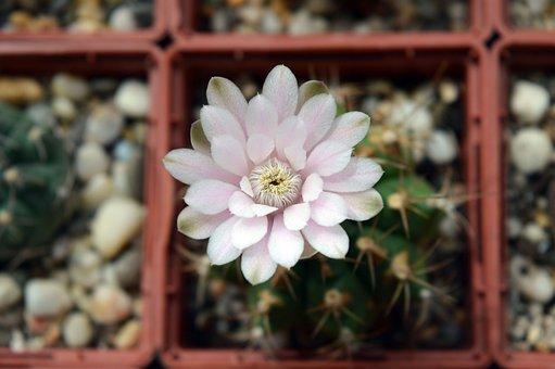 Gymnocalycium Anisitsii, Cactus Flower, Succulent