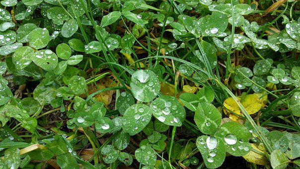 Clover, Meadow, Rain, Drops, Plant, Leaves