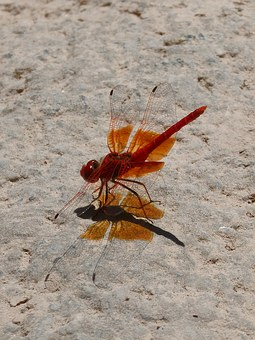 Red Dragonfly, Shadow Cast, Dragonfly