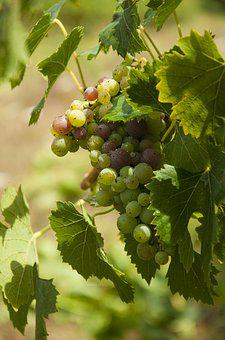 Wine, Grapes, Vine, Winegrowing, Vineyards