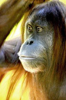 Orang Utan, Monkey, Forest Human, Borneo Island, Borneo