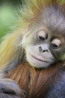 Orang Utan, Baby, Red, Fur, Ape, Forest Human, Borneo