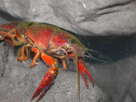American Crab, Crayfish, Rocks, Tweezers, River