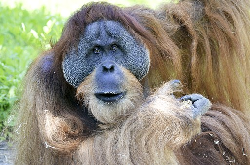 Orang Utan, Forest Human, Borneo, Monkey, Threatened