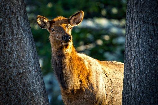 Cow Elk, Female, Animal, Wildlife, Closeup, Macro