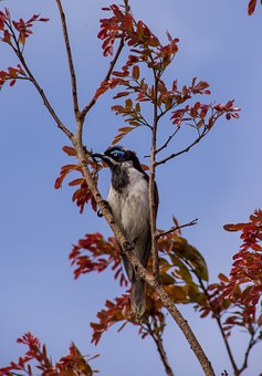 Blue Faced Honeyeater, Bird, Exotic, Honeyeater, Olive