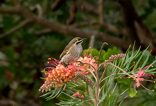 Yellow Faced Honeyeater, Bird, Honeyeater, Olive