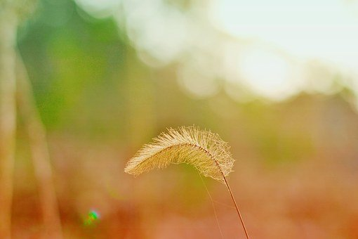 The Scenery, Reed, Halo, Dry, Hairy, Herb