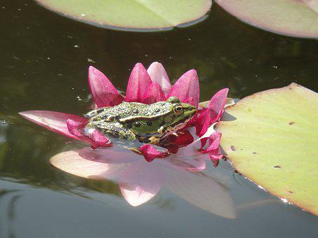 Frog, Amphibian, Pond, Water, Green, Water Fauna