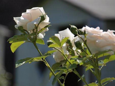Rose, Garden, Fragrant Flower, Blossom, Bloom, Nature