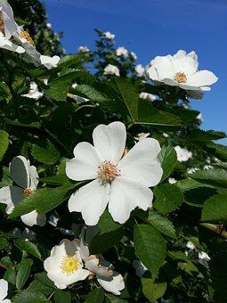 Flower, Rose, Wild Rose, Wild, Nature, Natural, White