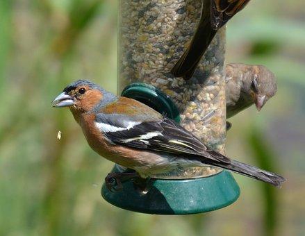 Chaffinch, Bird, Feeder, Wildlife, Nature, Garden, Cute