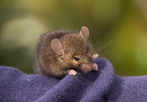 Antechinus, Marsupial Mouse, Marsupial, Native