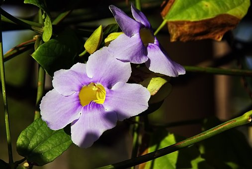 Morning Glory, Purple Flower, Creeper, Volubilis