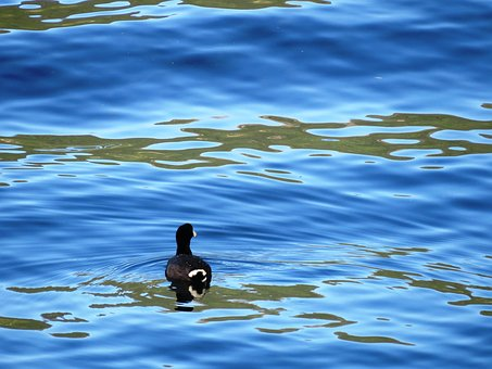 Guatemala, Lack Atitlan, Lack, Duck