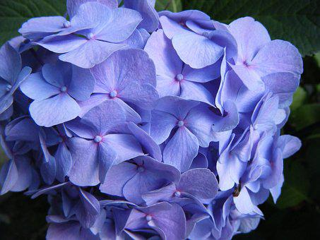 Hydrangea, Blossom, Bloom, Flower, Garden, Blue