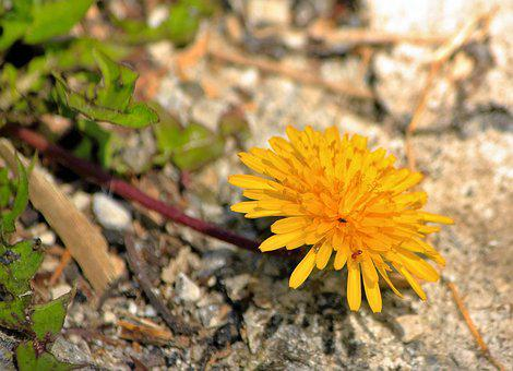 Dandelion, Flower, Yellow, Individually, Lonely