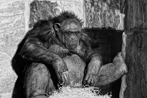 Chimpanzee, Mammal, Ape, Relax, Monkey, Animals, Cozy