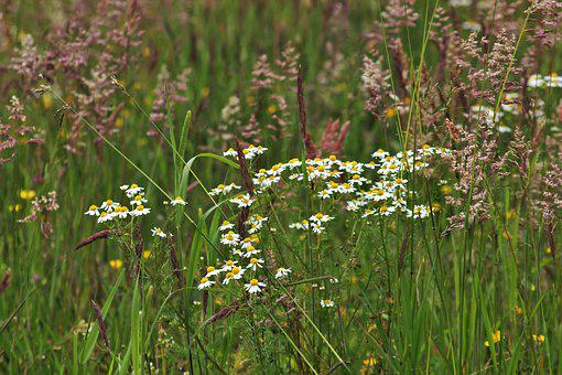 Chamomile, Wild Meadow, Green, Wild Grasses, Wild Grass