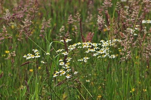 Chamomile, Wild Meadow, Green, Wild Grasses, Wild Grass