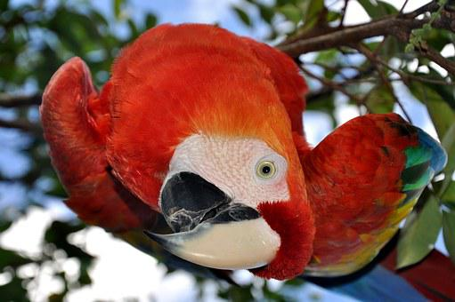 Parrot, Bird, Ara, Beak, Red, Animal, Curiosity