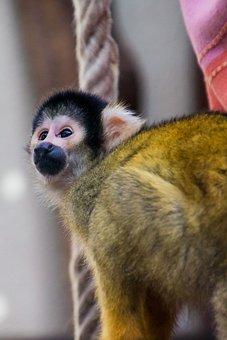Squirrel Monkey, Monkey, äffchen, Curious, Cute, Animal