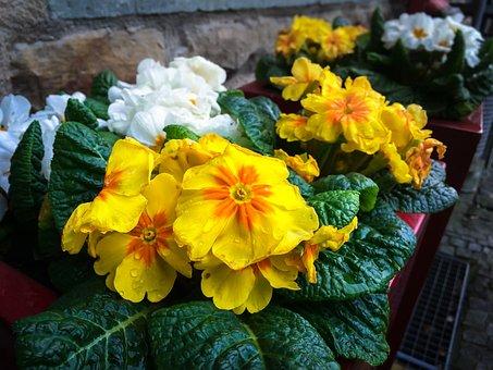 Primroses, Arrangement, Blossom, Bloom, Flower, Bloom