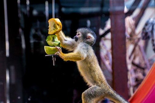 Squirrel Monkey, Monkey, äffchen, Eat, Curious, Cute