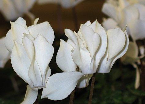 Cyclamen, White Flowers, Flora, Ornamental Plant, White