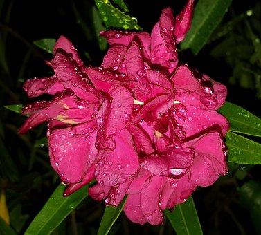 Flowers, Oleander, Petals, Pink Flowers, Bloom, Floral