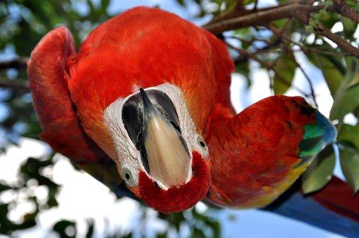 Parrot, Ara, Bird, Red, Colors, Beak, Venezuela