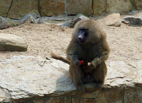 Baboon, Monkey, Mammal, Wild, The Creation Of